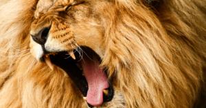 Roaring/yawing lion